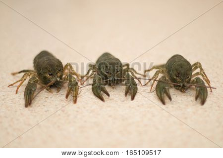 Live organic Crayfish close-up  on the table