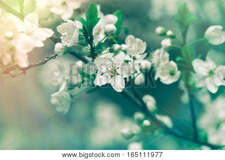 Flowering, blooming fruit tree - elective focus on flower petals, stamens and pistil