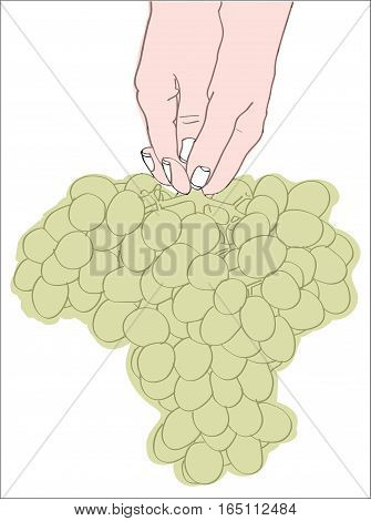 Digital vector female hand holding a bunch of green grapes, line art hand drawn doodle
