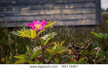 Wild pink beach rose in a field in pei