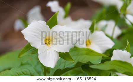 White petals of the large flowered White Trillium (Trillium grandiflorum).   Provincial flower of Ontario blooms in a woodland in springtime month of May.