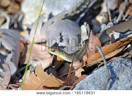 Black bellied Swamp Snake, Hemiaspis signata, camoflauged in leaf litter. Royal National Park, Sydney, Australia