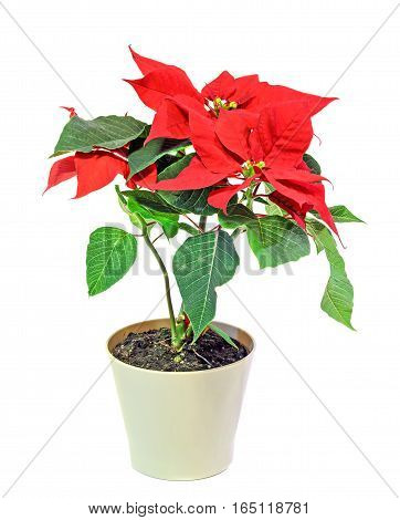 The Poinsettia (euphorbia Pulcherrima) With Red And Green Foliage, Christmas Floral In A White Vase.