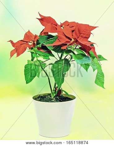 The Poinsettia (euphorbia Pulcherrima) With Red And Green Foliage, Christmas Floral In A White Flowe