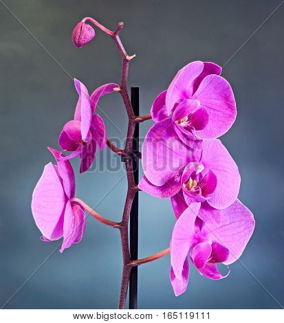 Pink Branch Orchid  Flowers, Orchidaceae, Phalaenopsis Known As The Moth Orchid, Abbreviated Phal. B