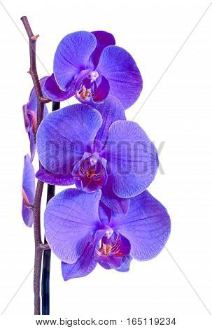 Mauve Branch Orchid  Flowers, Orchidaceae, Phalaenopsis Known As The Moth Orchid, Abbreviated Phal.