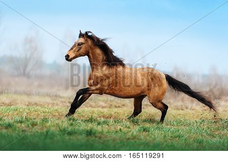 Auburn stallion runs gallop on the field on a blurred background. A horse at liberty. Light horse with a black mane, which develops in the wind. Animals in Motion
