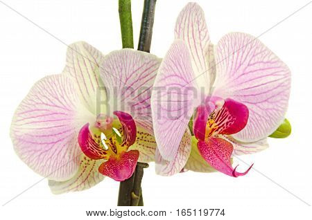 Pink Branch Orchid  Flowers With Green Leaves, Orchidaceae, Phalaenopsis Known As The Moth Orchid, A