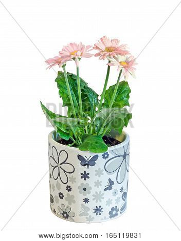 Pink Gerbera Flowers, Green Leaves,  Flowerpot, Isolated.