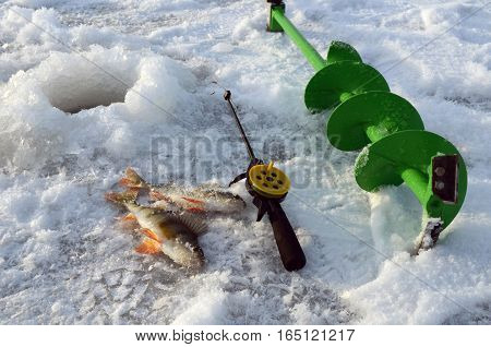 winter fishing fish crop striped basssports fishingfisherman's catchnewly captured fish fresh-caught fish drill holes in the ice