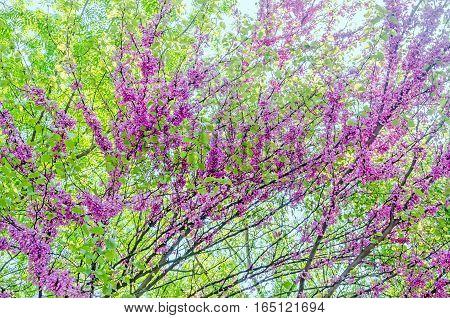 Mauve, Purple Cercis Siliquastrum Tree Flowers, Commonly Known As The Judas Tree.