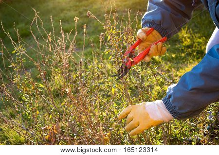 Pruning the plant in the garden with red shears