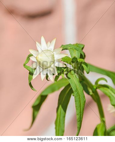 White Xerochrysum Bracteatum Flowers, Commonly Known As The Golden Everlasting Or Strawflower, Famil