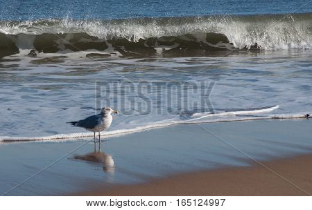 Sea Gull at Ocean Shore with Waves Crashing in Background