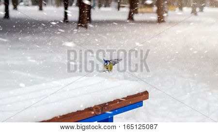Great tit landing on the bench covered snow in winter park snowstorm