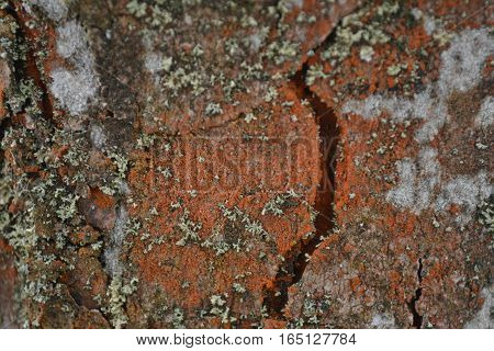 Cracked bark chestnut light brown color covered with moss and lichen