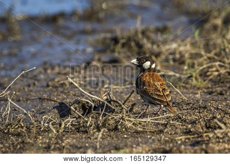 Chestnut-backed sparrow-lark in Kruger national park, South Africa ; Specie Eremopterix leucotis family of Alaudidae