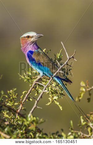 Lillac-breasted roller in Kruger national park, South Africa ; Specie Coracias caudatus family of Coraciidae