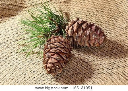 pine nuts pine branches cedar pine cone on a linen cloth