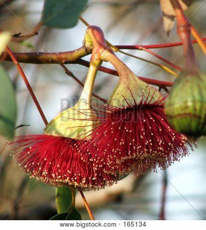 Flowers - Eucalyptus