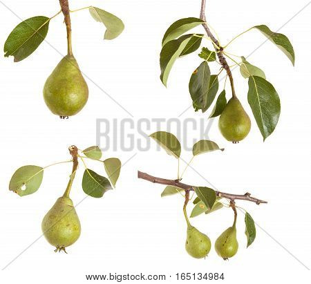 Unripe Green Pear On A Branch Isolated On White Background