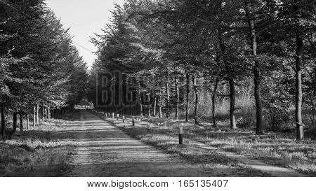 the path, a long path for hiking in fir wood