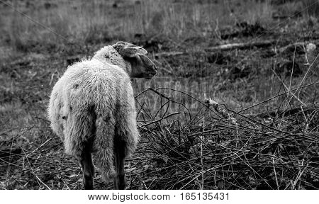sheep looking for his peers in an area