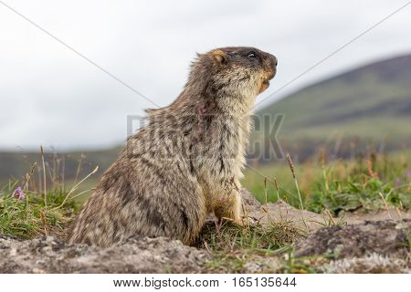 Marmot sitting on a rock and watching his territory