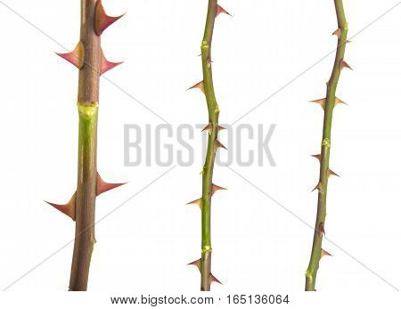 Part Of The Stem Roses With Thorns Isolated On White Background