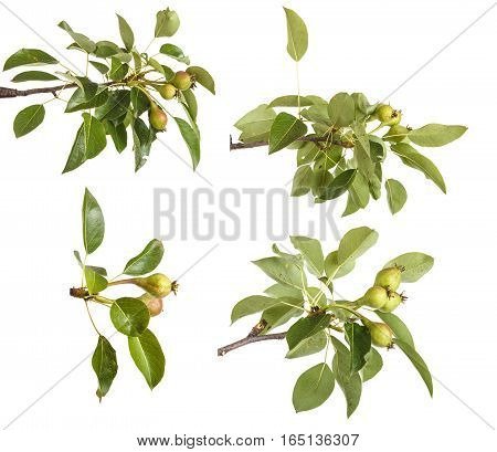 Pear Tree Branch With Unripe Fruit. Isolated On White Background