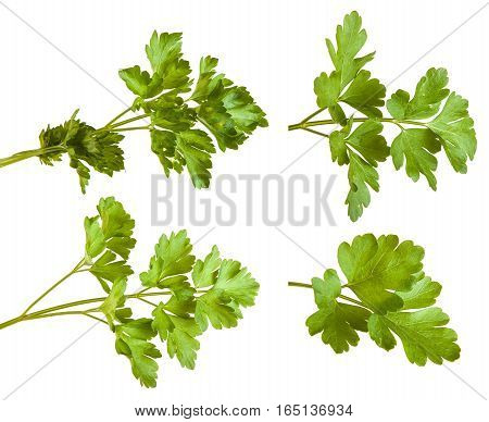 Green Parsley Leaves Isolated On White Background. Set