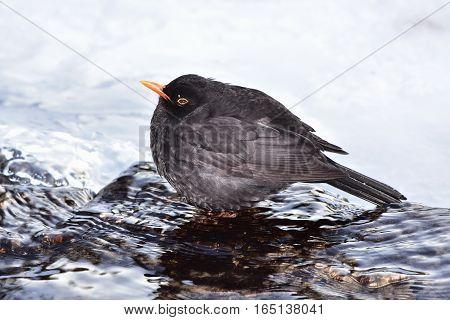 blackbird drinking from last non frozen place