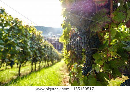 Die Weintraube, in den Sonnenstrahlen hängend auf der Weinrebe.