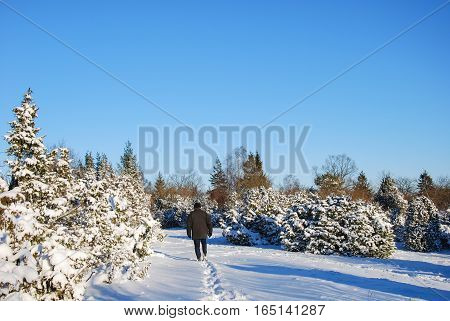 Man walks in a wintry landscape with snowy junipers