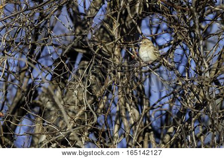 Field Sparrow considering two remaining berries on bush