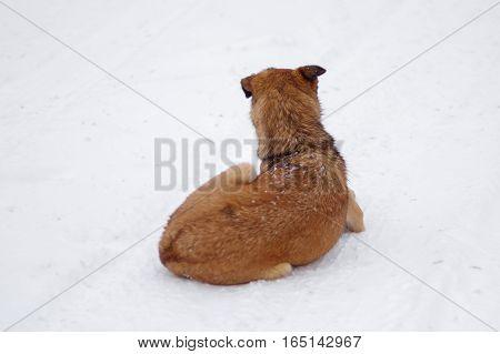 Mixed-breed sterilized stray dog resting on a fresh snow at winter season