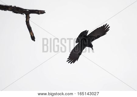 Graceful raven in fly spread it's wings againts dull skies