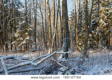 Snowfall after deciduous stand in morning with snow wrapped spruce trees mostly, Bialowieza Forest, Poland, Europe