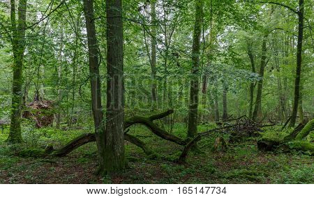 Natural deciduous stand with some old trees and broken branches, Bialowieza Forest, Poland, Europe