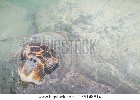 Green sea turtle. in wildlife in Colombia