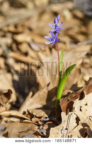 Spring forest blue flower of the Siberian Scilla or Scylla (lat. Scilla sibirica) in the forest