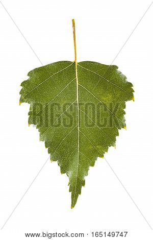 Green birch leaf in summer isolated on white background