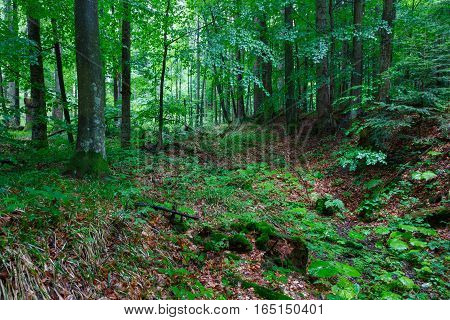 Lush foliage of summetime beech stand in Bieszczady just rain after along old dry stream bed, Bieszczady Region, Poland, Europe