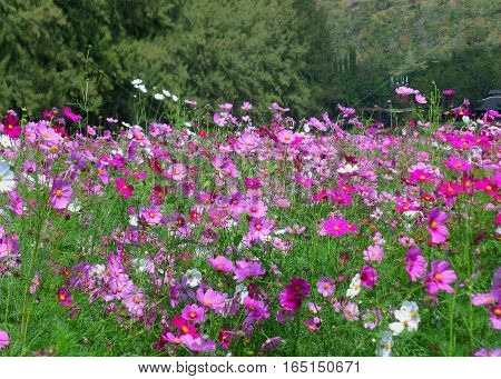 Blooming Pink Cosmos Field at the Foothill Covered with Green Foliage, Northeastern of Thailand