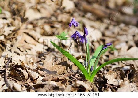 Spring forest blue flower of the Siberian Scilla or Scylla (lat. Scilla sibirica)