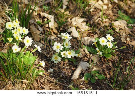 Primula vulgaris Primula acaulis or in the beech-oak forest