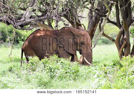 Elephant in the shade of trees in East Tsavo Park in Kenya