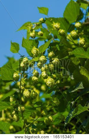 Green hops plant on blue sky background
