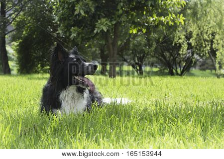 beautiful Border collie dog over the grass