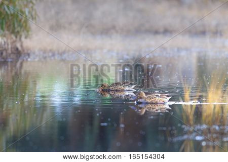 Two Famale Mallard Ducks In The Lake Searching To Eat